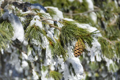 Beautiful snow covered pine Royalty Free Stock Photos