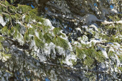 Beautiful snow covered pine Stock Image
