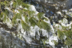 Beautiful snow covered pine Royalty Free Stock Photo