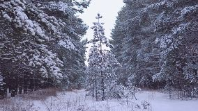 Beautiful snow-covered spruce, forest in winter snow stock video footage