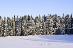 Beautiful snow covered spruce trees in a Finnish forest with sunlight royalty free stock photos