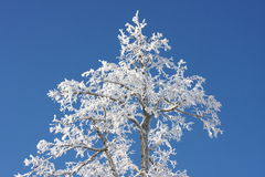 Beautiful snow-covered tree. On the background of blue sky Stock Images