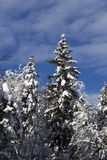 Snow-covered trees against blue sky Royalty Free Stock Photos