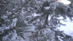 Beautiful snow-covered trees and pine needle covered with white frost stock footage