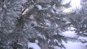 Beautiful snow-covered trees and pine needle covered with white frost stock video
