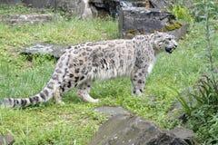 Snow leopard - Uncia uncia - Zoo Cologne Stock Images
