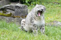 Snow leopard yawning - Uncia uncia - Zoo Cologne Stock Photography