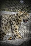 Beautiful Snow Leopard stock photography
