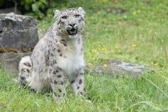 Snow leopard - Uncia uncia - Zoo Cologne Royalty Free Stock Photo