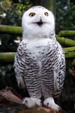 Beautiful snow owl. Very nice that he/she posed for me like this. It lookes like he/she's talking Stock Photography