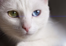 Beautiful snow-white pedigreed cat with amazing different multi-colored eyes on a sunny day. Royalty Free Stock Images