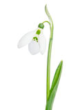 Beautiful Snowdrop flower Stock Photos