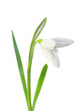 Beautiful snowdrop flower white isolated on white Stock Photos