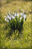 Beautiful snowdrop flowers Stock Photos