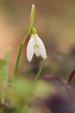 Beautiful snowdrop flowers blossom in spring Royalty Free Stock Image