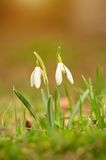 Beautiful snowdrop flowers blossom in spring Stock Photography