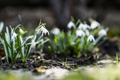 Beautiful, snowdrop in garen, spring time. Stock Photography