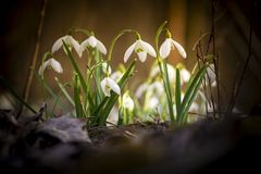 Beautiful snowdrop photos from the depths of the forest. stock image