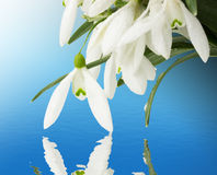 Beautiful snowdrops on a blue background Stock Photo