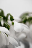 Beautiful snowdrops in a bouquet Royalty Free Stock Image