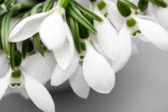 Beautiful snowdrops in a bouquet Stock Images