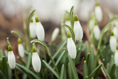 Beautiful snowdrops. The first sign of spring. Stock Photography