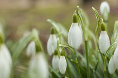 Beautiful snowdrops. The first sign of spring. Stock Images