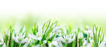 Beautiful snowdrops flower blossom isolated on white panorama background. Spring nature. Greeting card template. Soft toned