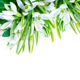 Beautiful snowdrops flower blossom isolated on white square background. Spring nature. Greeting card template. Soft toned.  Stock Photos
