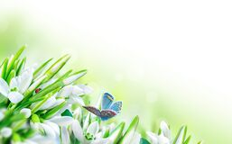 Beautiful snowdrops flower blossom, ladybug, butterfly close-up on white panorama background. Spring floral nature greeting card