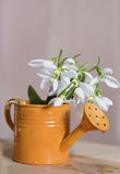 Beautiful snowdrops flowers in small decorative watering can vase. Stock Photography