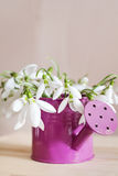 Beautiful snowdrops flowers in small decorative watering can vase. Royalty Free Stock Photography