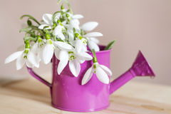 Beautiful snowdrops flowers in small decorative watering can vase. Royalty Free Stock Photo