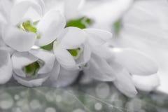 Beautiful snowdrops Stock Image