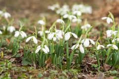 Spring snowdrops in a park Royalty Free Stock Photography