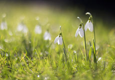 Beautiful snowdrops Royalty Free Stock Photos