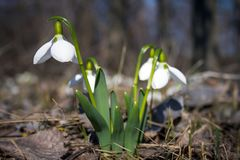 Beautiful snowdrops in spring field. Royalty Free Stock Photography