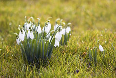 Beautiful snowdrops Royalty Free Stock Image