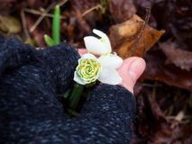 Snowdrops in woman hands close up. spring is coming. Beautiful snowdrops in woman hands close up. spring is coming royalty free stock photos