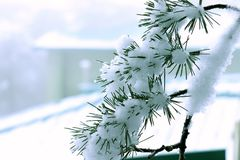 Beautiful snowed pine tree branch. Use for Beautiful Natural morning background or wallpaper. Beautiful landscape wallpaper. It shows snowfall winter season stock images