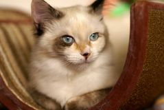 Beautiful snowshoe-ragdoll kitten. Close-up of rare snowshoe-ragdoll mix breed of cat Stock Image