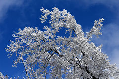 Beautiful snowy branch Royalty Free Stock Photography