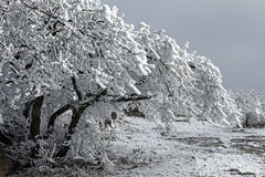 Beautiful snowy branch Royalty Free Stock Image