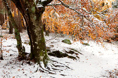 Beautiful snowy forest Stock Images