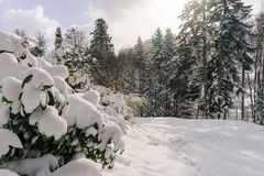Beautiful snowy forest landscape, season concept Stock Photo