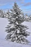 Beautiful snowy landscape with spruce. Beautiful snowy spruce with blue sky and clouds for the background and with spruce forest Royalty Free Stock Images