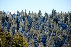 Beautiful snowy mountain french alps winter panoramic landscape with a fir forest view background Stock Photos