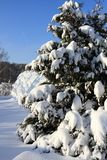 Beautiful snowy pine branches in the sun in winter stock image