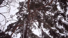 Beautiful snowy pine, pine branch in snow shakes strong wind storm in the pine forest, winter landscape. stock footage