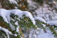 Beautiful snowy pine tree in the forest. Beautiful snowy pine tree in the winter forest Royalty Free Stock Photography